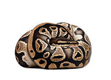 Young Python regius, 10 months old, curled up in front of a white background, studio shot