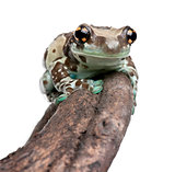 Amazon Milk Frog perched on branch, Trachycephalus resinifictrix, in front of white background, studio shot