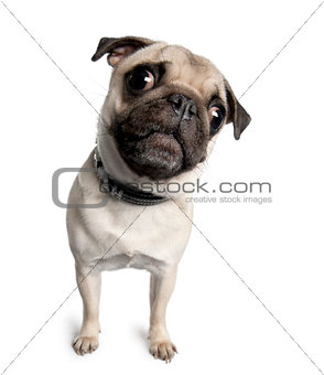 Portrait of pug, 18 months old, standing in front of white background, studio shot