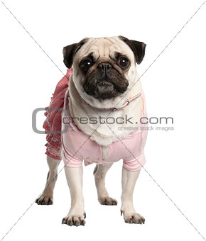 Portrait of dressed up pug, 4 years old, standing in front of wh