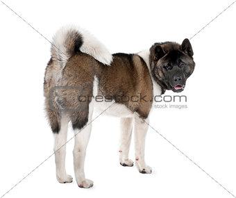 Portrait of husky dog, standing against white background, studio shot