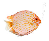 Pigeon Blood Discus fish, Symphysodon aequifasciatus, studio sho