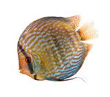 Red Turquoise Discus fish, Symphysodon aequifasciatus, studio sh