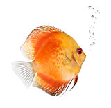Fire Red Discus fish, Symphysodon aequifasciatus,  studio shot