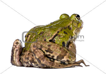 Back view of a Edible Frog - Rana esculenta