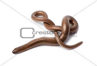 Top view of a slowworm - Anguis fragilis