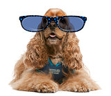 American Cocker Spaniel wearing glasses, 3 years old, dressed up