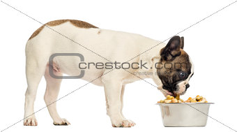 French Bulldog puppy eating from a full bowl, 4 months old, isol