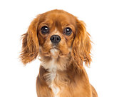 Close-up of a Cavalier King Charles Spaniel puppy, 5 months old,