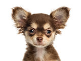 Close-up of a Chihuahua puppy looking at the camera, isolated on
