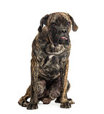 Cane Corso sitting, 8 months old, isolated on white