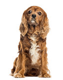 Cavalier King Charles sitting, 11 years old, isolated on white