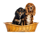 Two Cavalier King Charles Spaniel, 11 years and 6 months old, in