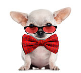 Chihuahua puppy wearing glasses and a bow tie isolated on white