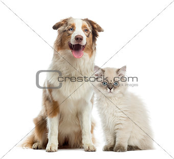British Longhair kitten and Australian Shepherd sitting next to