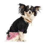 Side view of a dressed up Chihuahua sitting, looking at the came