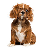 One-eyed Cavalier King Charles puppy sitting, 4 months old, isol