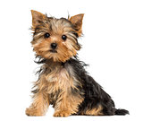 Side view of a Yorkshire Terrier puppy sitting, 3 months old, is