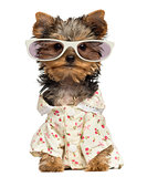 Dressed up Yorkshire Terrier puppy wearing glasses isolated on w