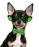 Close-up of a Chihuahua puppy wearing glasses and a bow tie isol