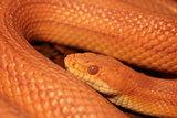 Grass Snake is molting - Ringelnatter