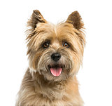Close-up of a Cairn terrier in front of a white background