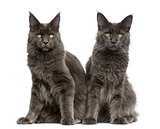 Two Maine Coons in front of a white background