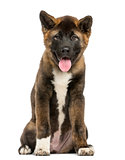 Akita Inu puppy sitting in front of a white background