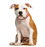 Staffordshire Bull Terrier puppy sitting in front of a white bac