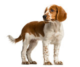 Welsh Springer Spaniel standing in front of a white background