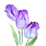 Watercolor Purple Tulips flower