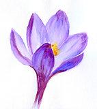 Crocus flower snowdrop