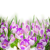 spring crocuses close up