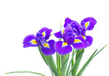 spring blue irises