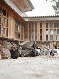 Many rabbits on the farm