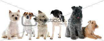 group of terrier