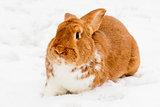 Rabbit on the snow