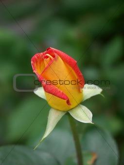alpine rose 02