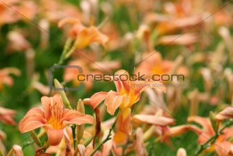 Lots of daylilies