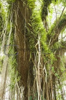 Air plants on tree