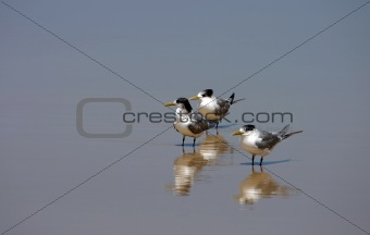 Three lesser-crested terns (Sterna bengalensis)