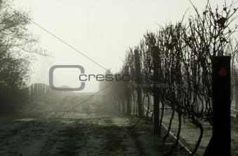 Foggy Grapevines