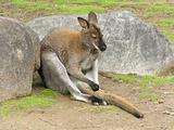 kangaroo sits amongst stone and irons its tail