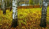 White Birches, yellow foliage.