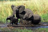 Elephants famaly