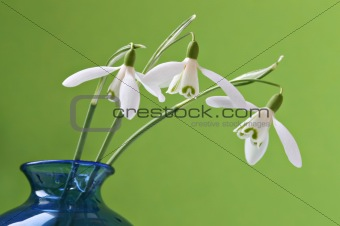 Three snowdrops in a vase