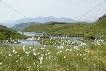 Small mountain lake and bog cotton