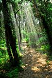 Path in sunlit forest