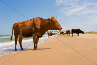 sunbathing cow