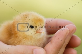 Small chicken on hand